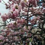 大阪造幣局 桜の通り抜け2015-大阪造币局樱花通道开放周