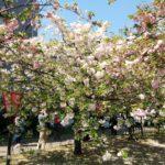 【会員様限定】造幣局桜の通り抜け2018-写真66枚