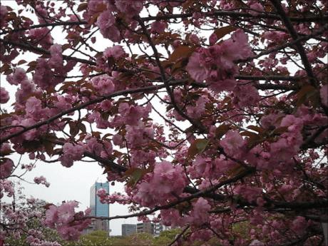 造幣局「桜の通り抜け」2014