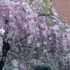 大阪造幣局桜の通り抜け2016