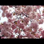 大阪・造幣局の桜の通り抜け