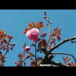 平成最後の桜の通り抜け2019(大阪・造幣局)